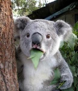 koala-meme-generator-jaw-drop-0fa4b6