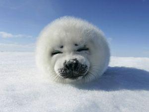 Cute seal pup.  CLUB SANDWICHES NOT SEALS.